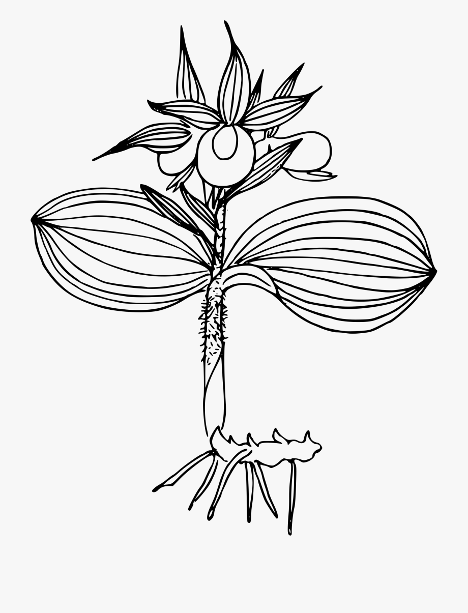 how to draw an orchid flower orchid flower png kamal flower drawing transparent how flower to orchid draw an