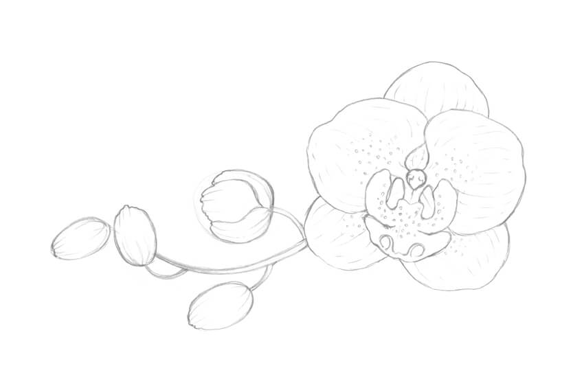 how to draw an orchid flower pencil drawing orchid flowers orchid drawing flower flower an orchid to how draw