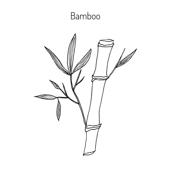 how to draw bamboo 57599544 bamboo stem branches and leaf vector hand drawn to bamboo how draw