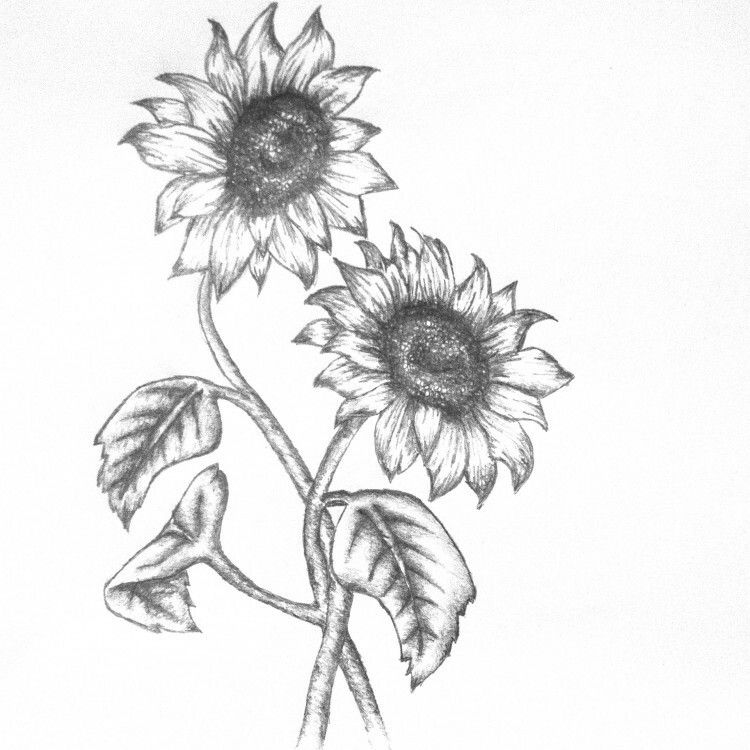 how to draw sunflowers collection of sunflower clipart free download best sunflowers how to draw