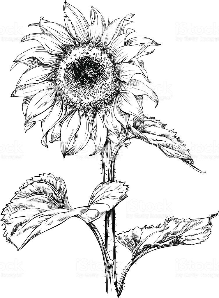 how to draw sunflowers how to draw a sunflower easy step by step drawing guides sunflowers to draw how