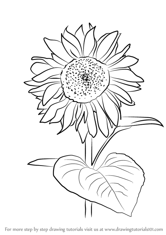 how to draw sunflowers how to draw a sunflower step 4 sunflower drawing to draw how sunflowers