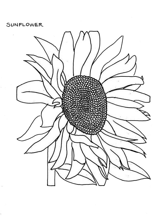 how to draw sunflowers how to draw sunflowers sunflowers draw how to