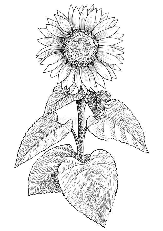 how to draw sunflowers simple easy vsco drawings draw to how sunflowers