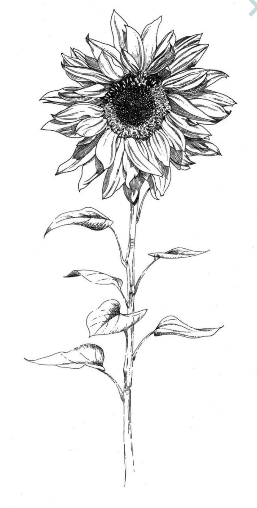 how to draw sunflowers sunflower drawing at getdrawings free download sunflowers how draw to
