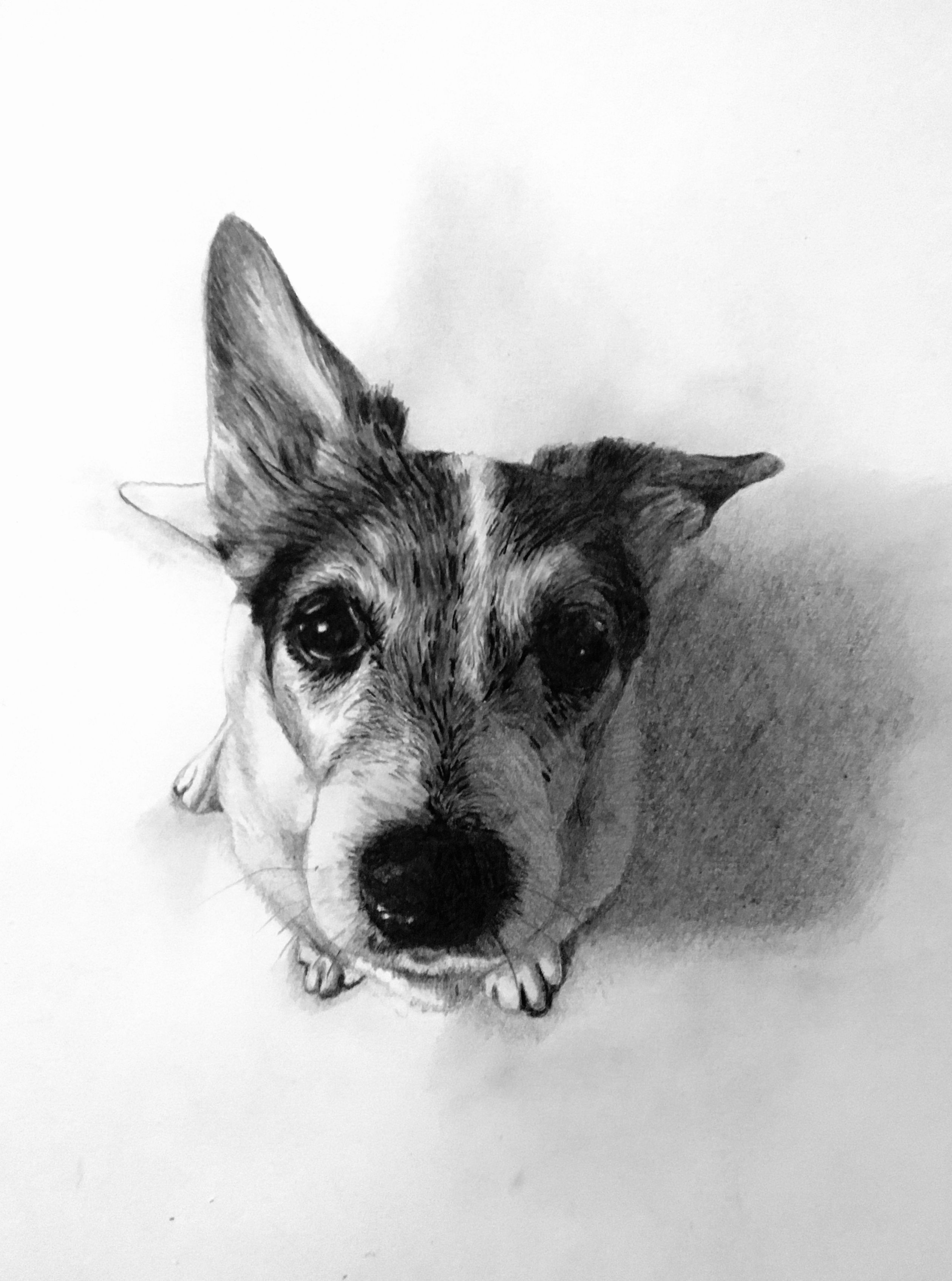 jack russel drawing jack russell terrier fine art dog print by mike sibley jack drawing russel