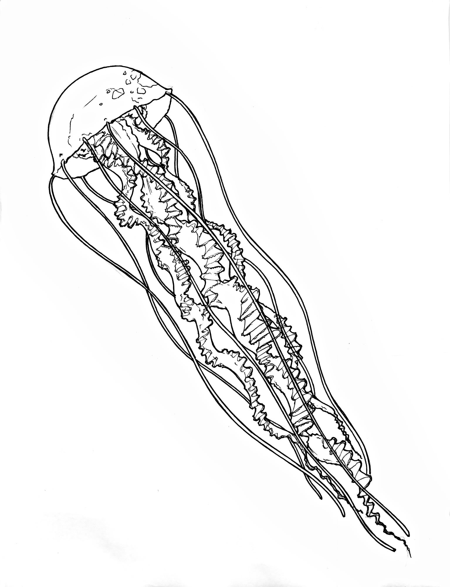 jelly fish sketch simple jellyfish drawing free download on clipartmag jelly sketch fish 1 1