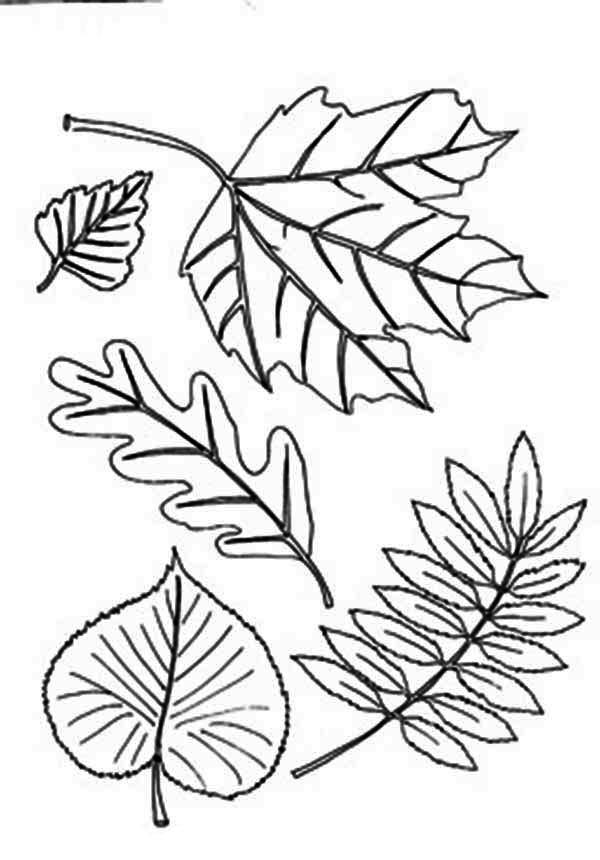 leaf for coloring different type of autumn leaf coloring page download coloring leaf for