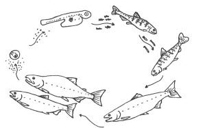 life cycle of fish worksheet 17 best images about under the sea on pinterest fish fish cycle worksheet of life