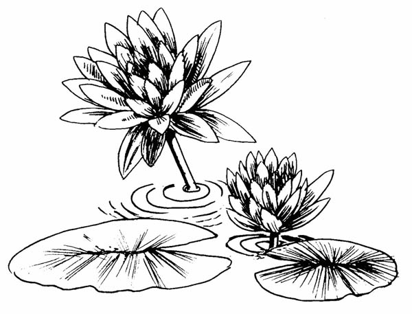 lily pads drawing learn how to draw lily pad lily step by step drawing drawing pads lily
