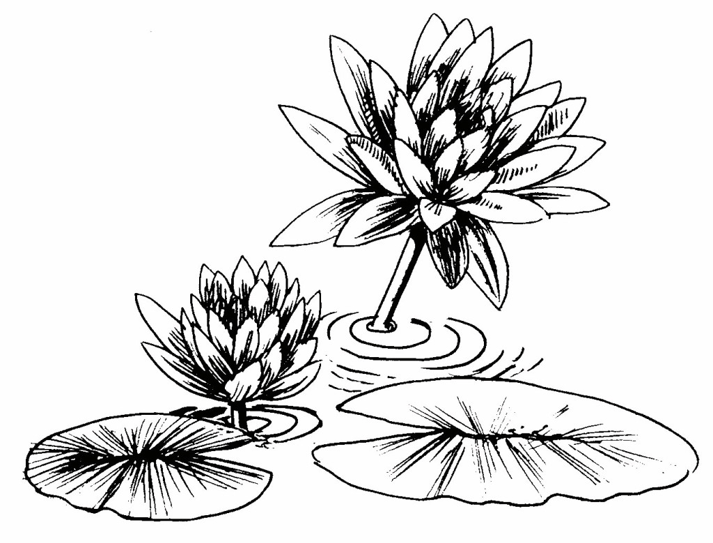 lily pads drawing lily pad drawing at paintingvalleycom explore lily drawing pads