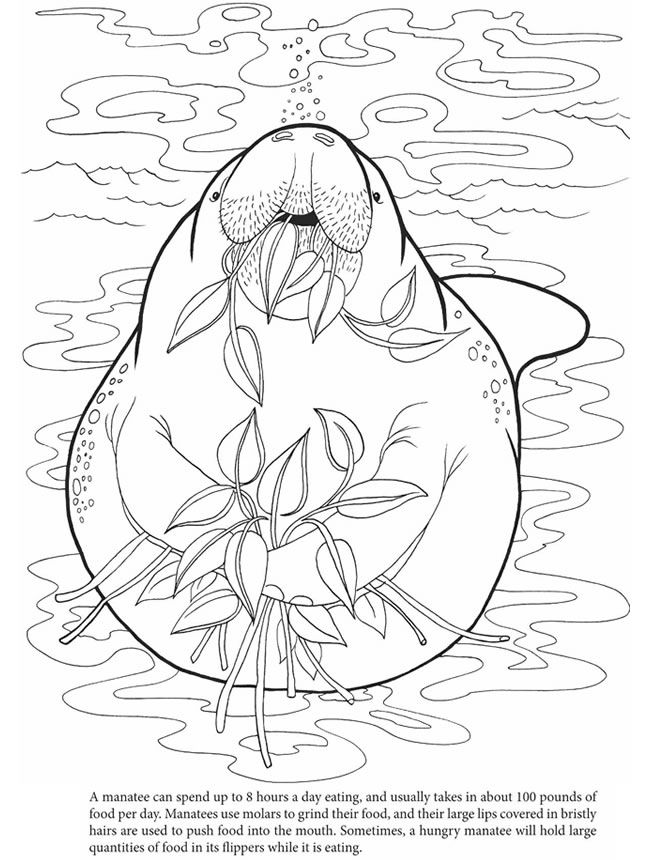 manatee coloring page manatee clipart 5 761x809 animal coloring pages manatee coloring page
