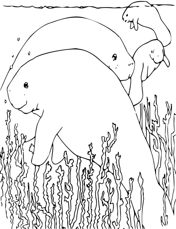 manatee coloring page manatee coloring page free download on clipartmag page coloring manatee