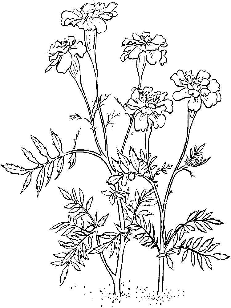 marigold coloring page marigold flower coloring pages download and print marigold coloring page