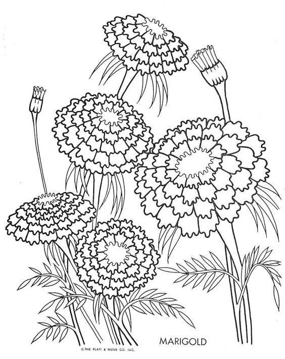 marigold coloring page marigold flower coloring pages download and print page marigold coloring