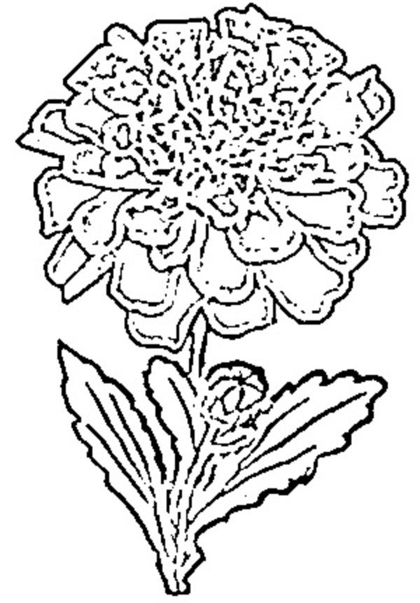marigold coloring page marigold flower coloring pages marigold flower coloring marigold page coloring