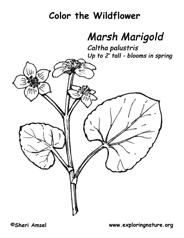 marigold coloring page marigold flower drawing at getdrawings free download coloring marigold page