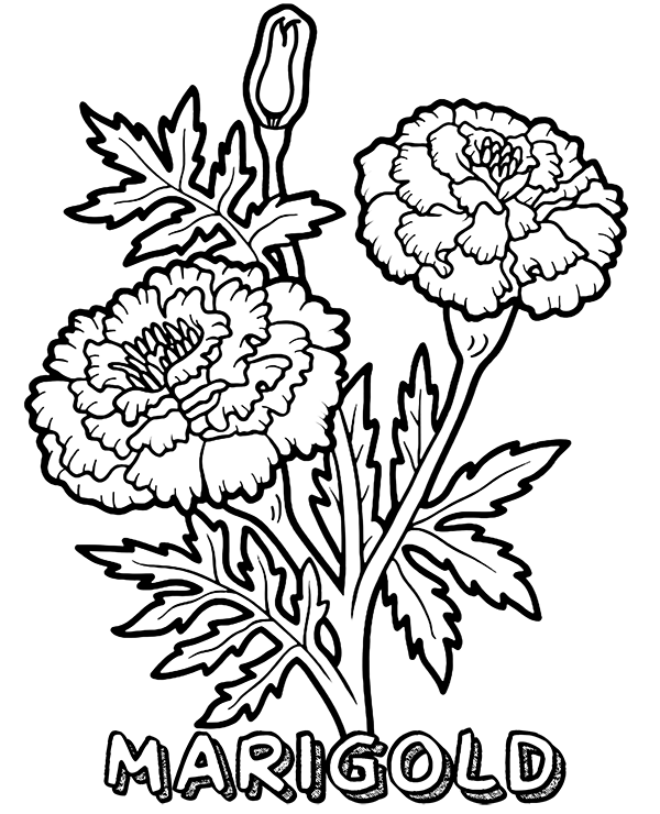 marigold coloring page marigold flower drawing at getdrawings free download marigold coloring page