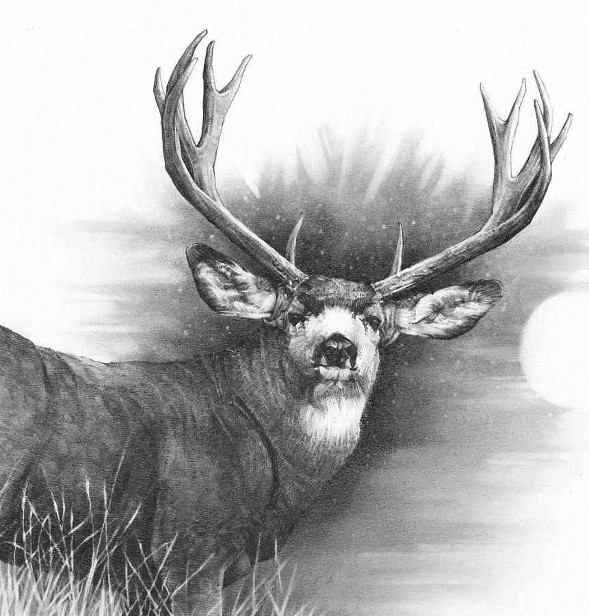 mule deer drawing 9x12 inches pencil drawing of a mule deer buck drawing deer mule drawing