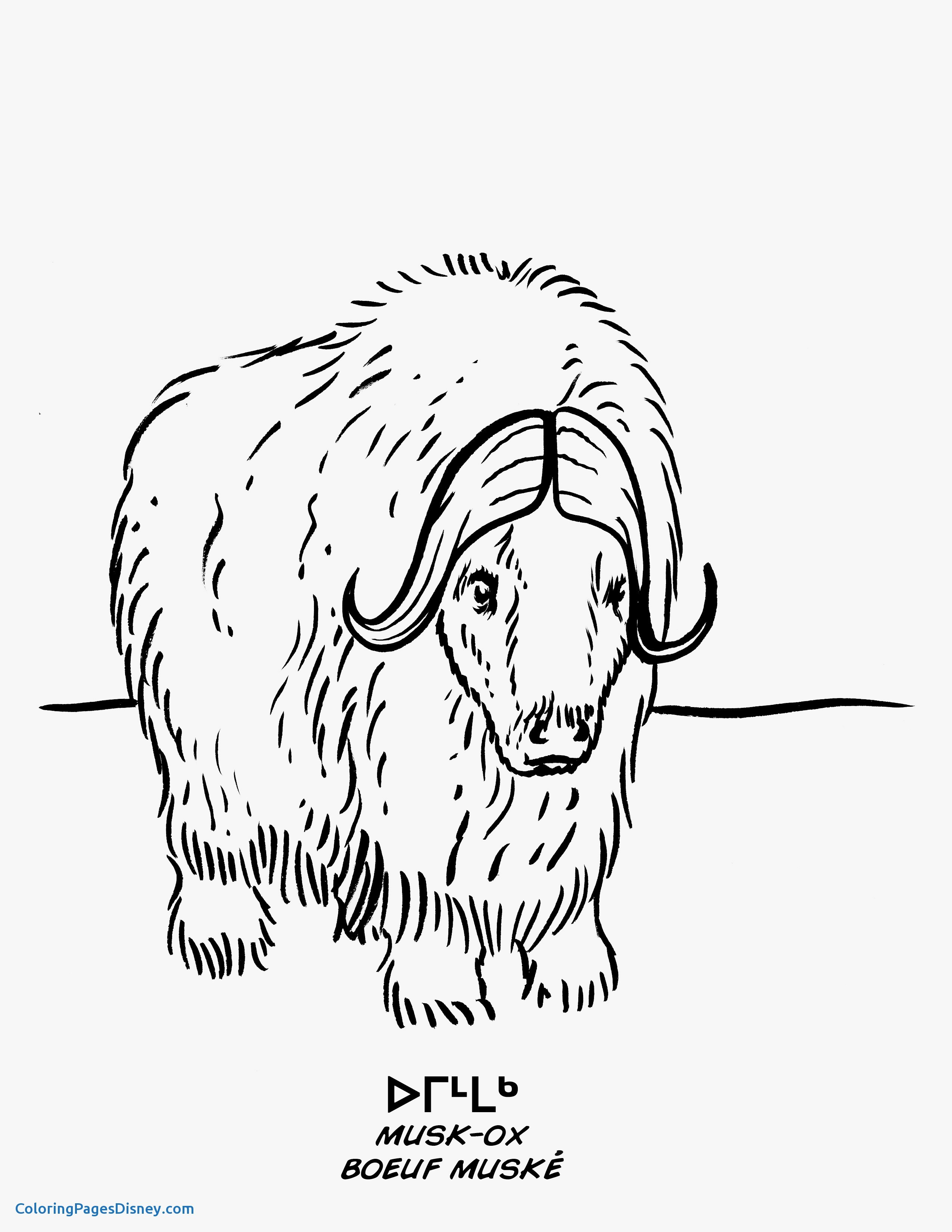 musk ox coloring page musk ox coloring nature coloring musk page ox