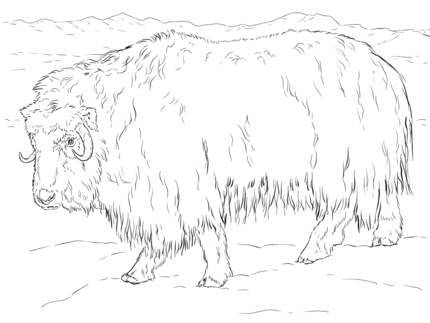 musk ox coloring page musk ox coloring pages coloring musk ox page