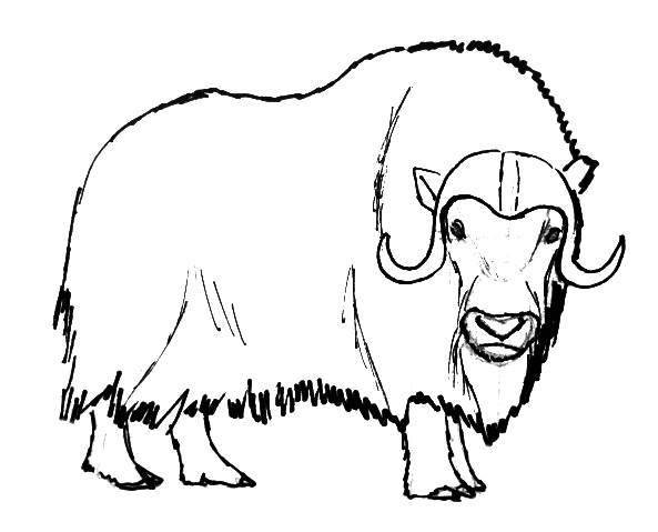 musk ox coloring page musk ox coloring pages coloring ox page musk