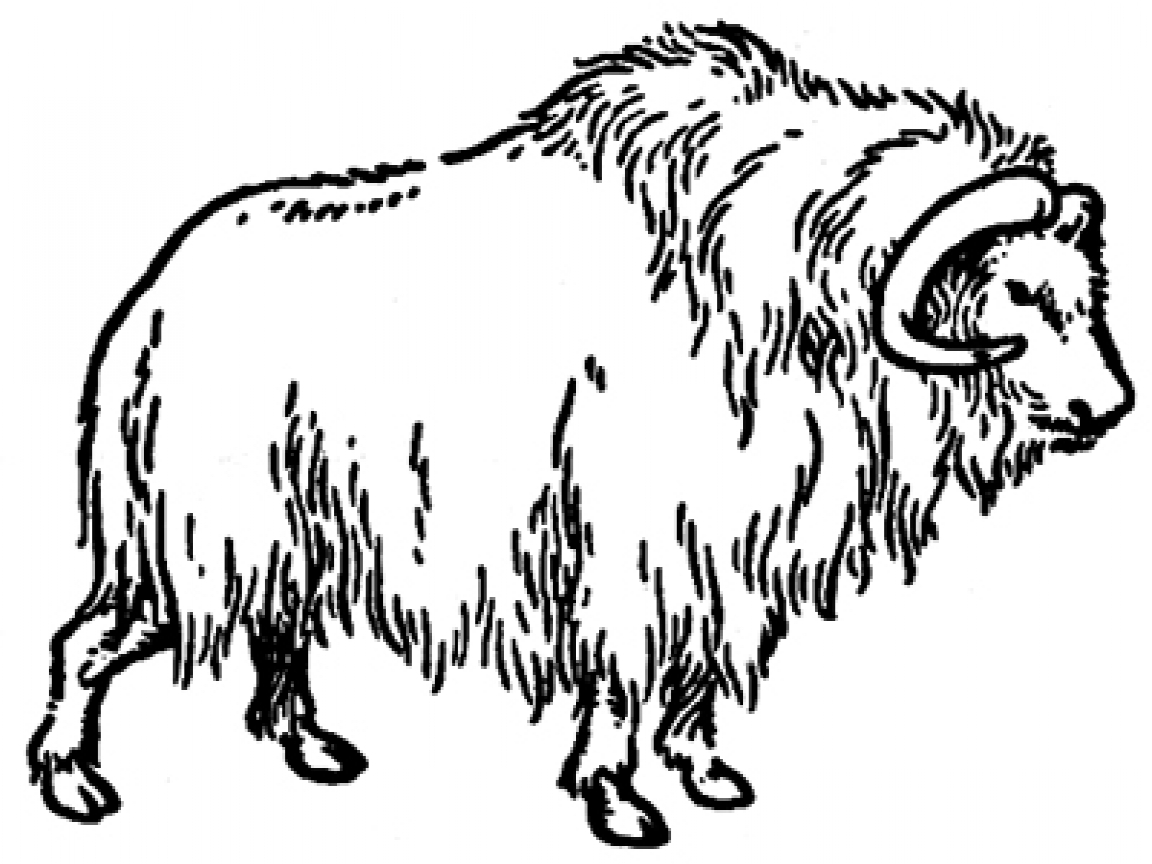 musk ox coloring page musk ox coloring pages page coloring musk ox