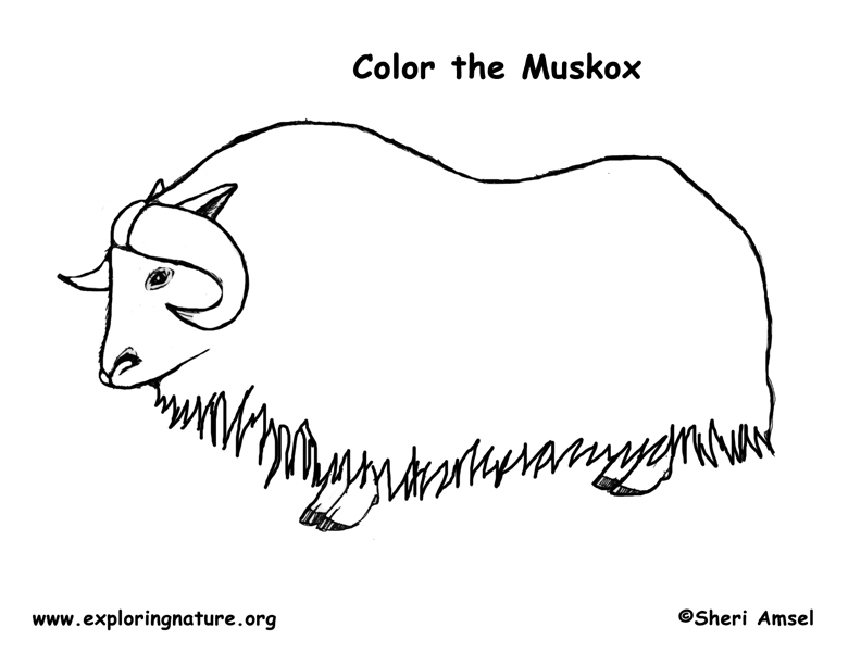 musk ox coloring page musk ox drawing free download on clipartmag page ox coloring musk