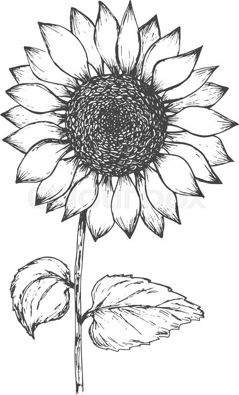 outline of a sunflower sunflower clipart instant download pen ink of a outline sunflower