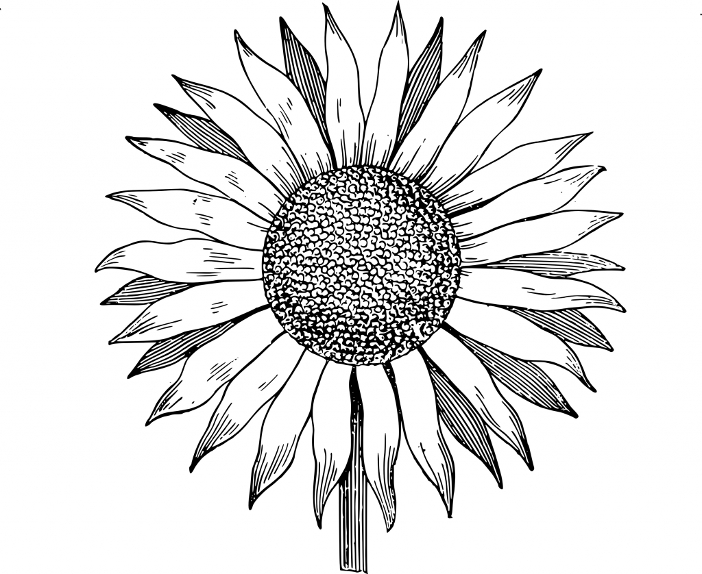 outline of a sunflower sunflower outline drawing at getdrawings free download of outline a sunflower