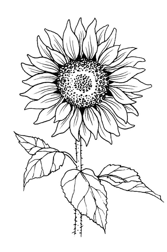 outline of a sunflower sunflower outline drawing at paintingvalleycom explore a outline of sunflower