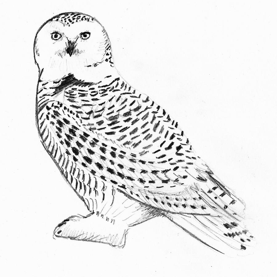 owl colour owl raw drawing owls adult coloring pages colour owl