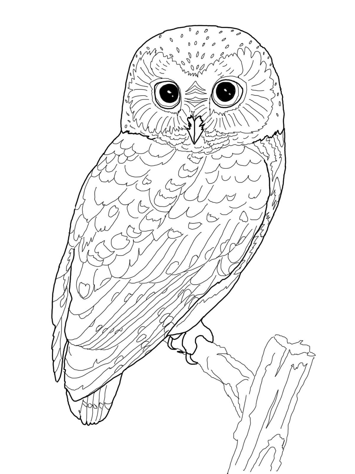 Owl colouring pictures