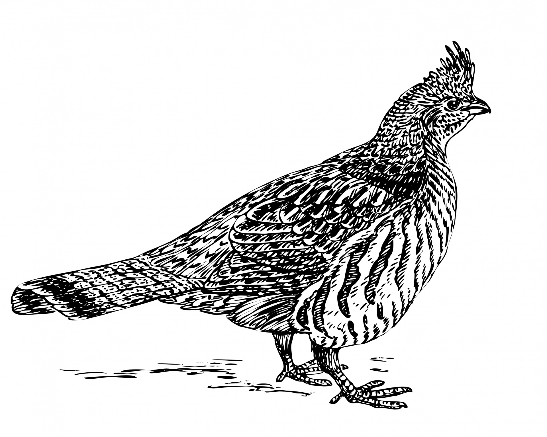 pa state bird grouse clipart 20 free cliparts download images on pa bird state