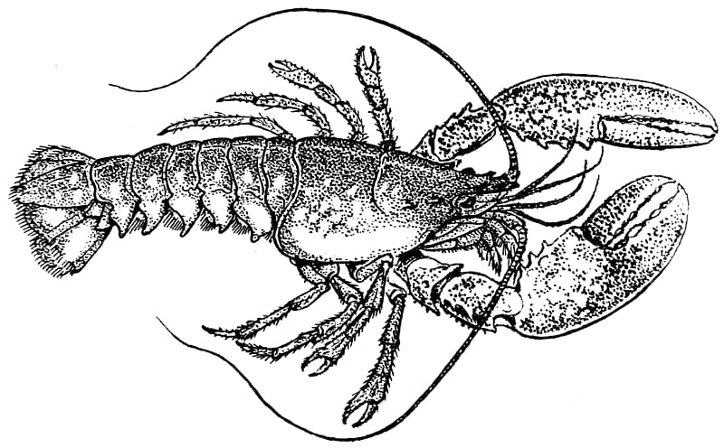 pics of lobsters lobster drawing lobster transparent background png lobsters of pics