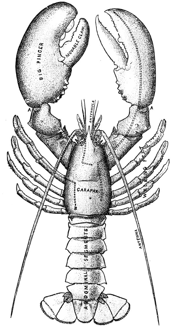 pics of lobsters the best free lobster vector images download from 50 free of pics lobsters