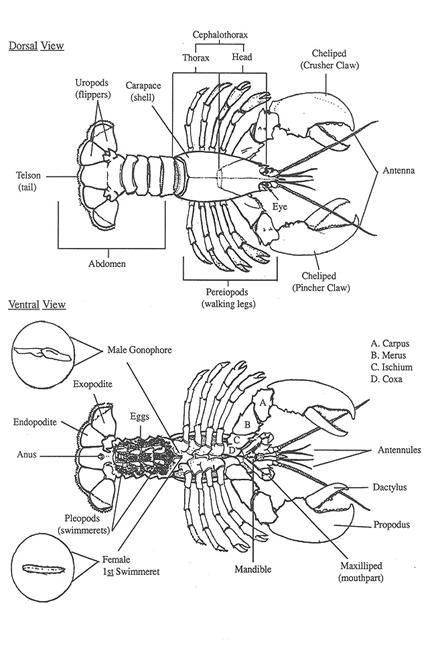 pics of lobsters the best free lobster vector images download from 50 free pics lobsters of