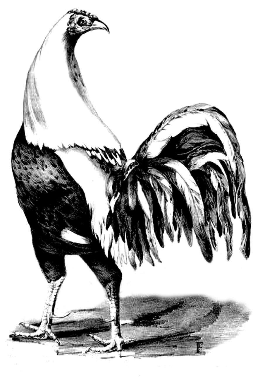 picture of a rooster to color chicken coloring pages best coloring pages for kids rooster picture a to color of