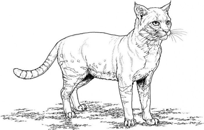 real kitty coloring pages realistic coloring pages of cats realistic coloring coloring pages kitty real