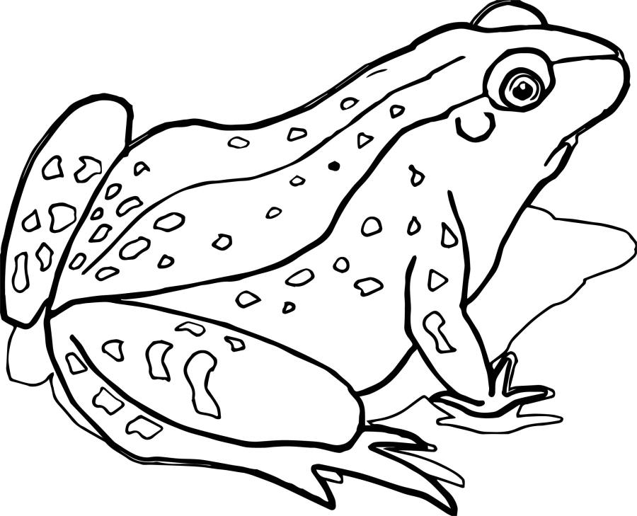 realistic frog coloring pages realistic frog coloring pages free download on clipartmag coloring realistic frog pages