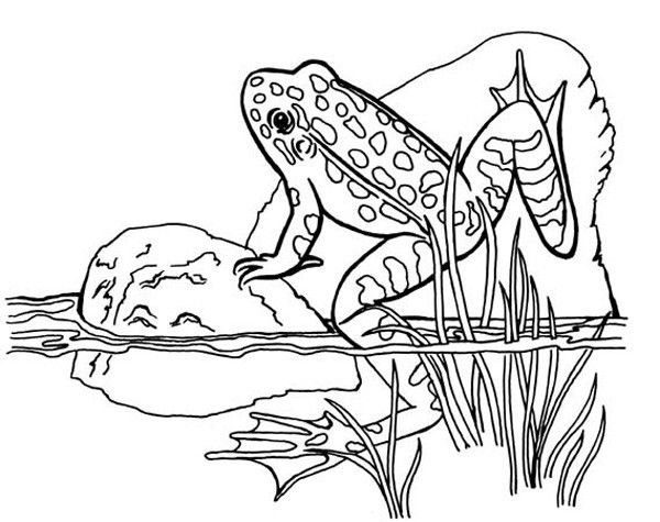 realistic frog coloring pages realistic frog coloring pages free download on clipartmag pages coloring realistic frog