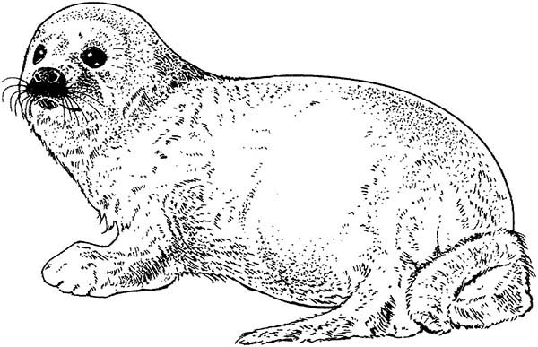 seal pictures to color ringed seal coloring page animals town animals color pictures color seal to