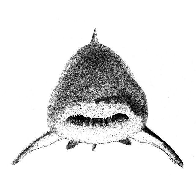 shark drawing 5 easy and realistic shark drawings how to draw a drawing shark