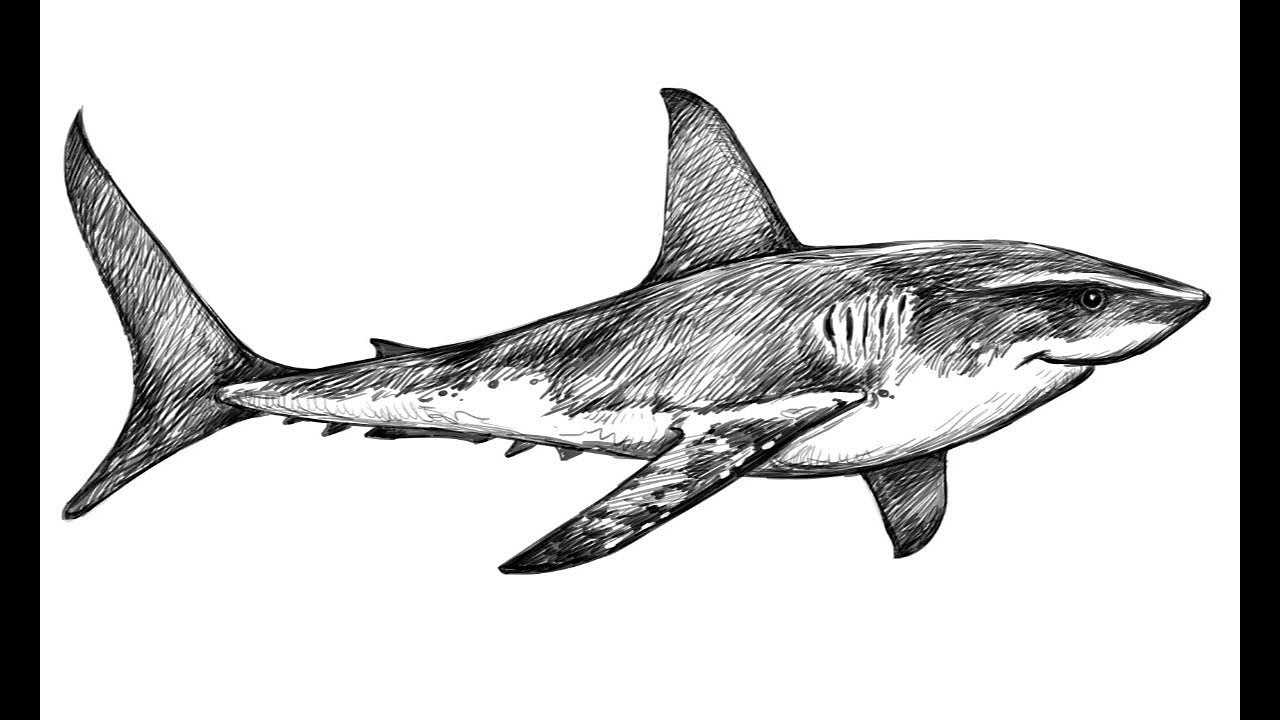 shark drawing great white shark outline drawing at paintingvalleycom shark drawing