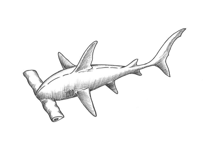 shark drawing how to draw a hammerhead shark the drawing journey drawing shark