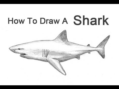 shark drawing how to draw a shark great white youtube drawing shark