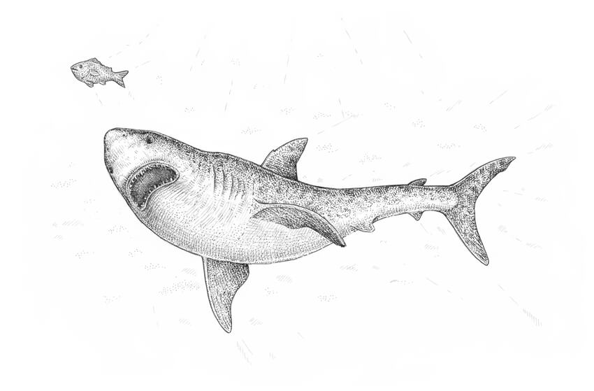 shark drawing how to draw a shark step by step drawing shark