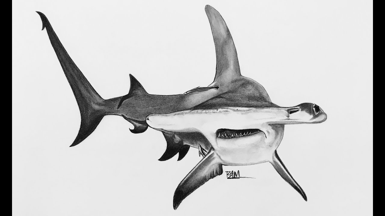 shark drawing how to draw a shark youtube shark drawing