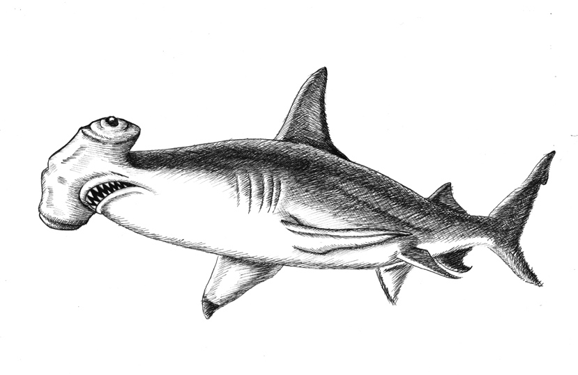 shark drawing latest how to draw a sand tiger shark step by step hd shark drawing