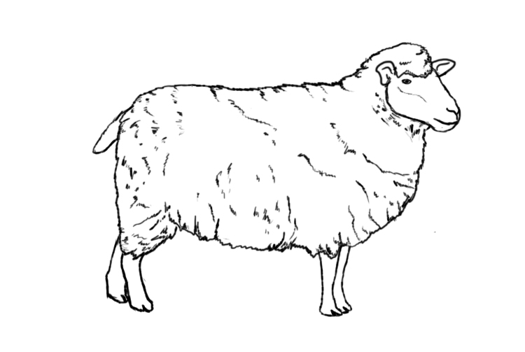 sketch of a sheep contact diana rosemary lodge painter of gypsies horses sheep of a sketch